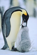 Emperor Penguin Feeding Young